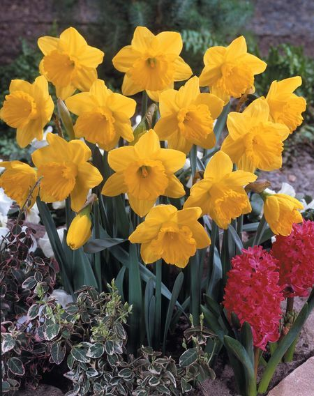 Narcissus 'Gigantic Star' - Large Cup Daffodil
