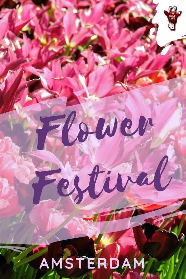 Amsterdam Flower Festival Tulip Fields Netherlands Tulip