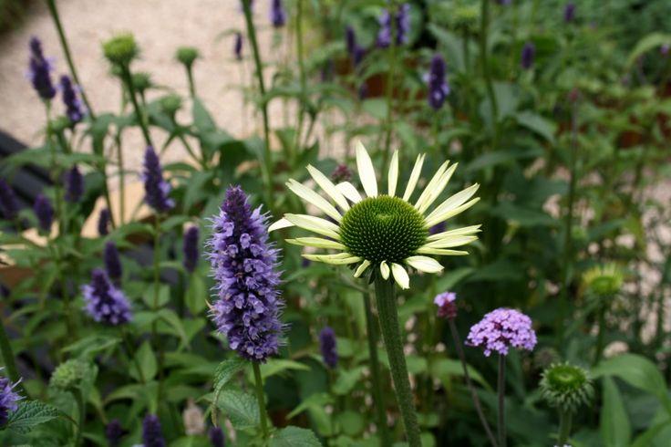 A favourite garden at The Hampton Court Flower Show-Agastache Black Adder