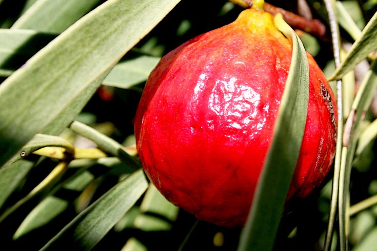 Australian native Quandong, sometimes called a 'native peach', is high in vitamin C. The fruit can be made into a range of foods including pies, sauces and jams. The nut can also be roasted and ground to make flour.