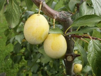 Apricot-Mirabelle Aprimira  Combines two types of fruit