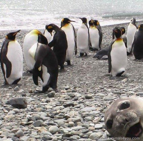 Seal Photobomb.King Penguins, Photos Bombs,  Aptenodyt Patagonica, Sea Lion, Funny Stuff, Funny Animal, Seals Photobomb, Animal Photos, Sealion