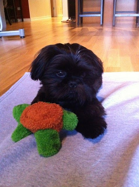 My Shih Tzu smooshie.Dogs, Shihtzus, All Black, Black Shih Tzu Puppies, Pets, Tzu Smooshies, New Friends, Shih Tzus, Animal