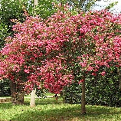Crepe Myrtle Tree Seeds (Lagerstroemia indica) 50+Seeds - Under The Sun Seeds  - 1
