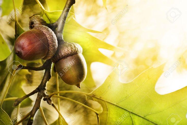 Botanical Acorn Stock Photos Images. Royalty Free Botanical Acorn ...