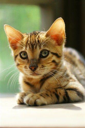 Habituellement, les chats de Bengal coûtent dans les 1000 $ ou 2000 $. Mais Cyndi Jackson, cette adepte de chirurgies esthétiques surnommée « La femme Barbie », posséderait le chat le plus cher du monde, Cato, qu'elle a acquis pour 40 500 $. Du coup, l'animal et la maitresse se retrouvent dans le livre des Record Guinness. Lui pour son prix, elle pour ses chirurgies.