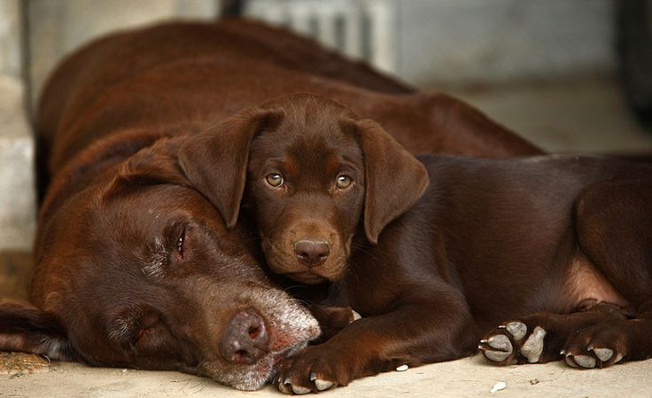 Labradors always refuse to leave their human's side. There are countless reports…