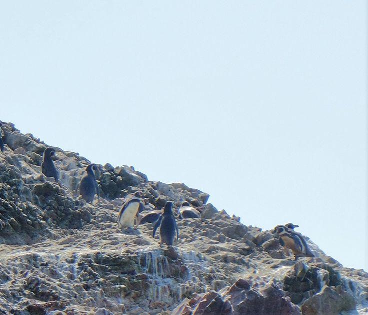 """A una hora en barco de Paracas, encontramos leones marinos, pingüinos y guaneros. Gracias a las Islas Ballestas caí en la cuenta del sentido de la frase """"me importa un guano"""". Efectivamente, el gua..."""