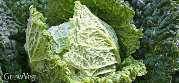 The Best Heirloom Cabbage Varieties....