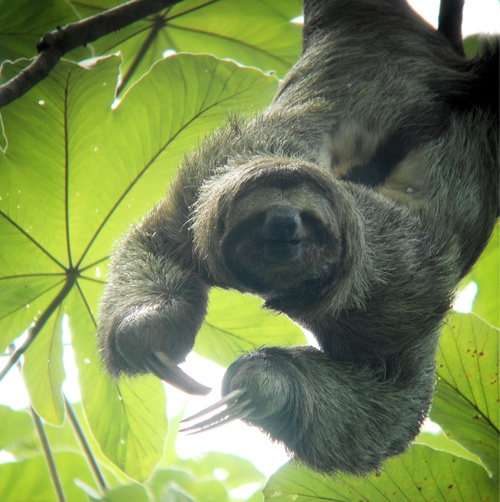 Sloths are so fun to look at.