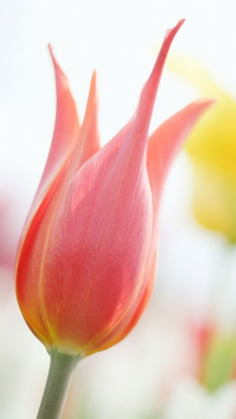 Tulip Pink Flower Wallpaper 480x854px Flower Pictures
