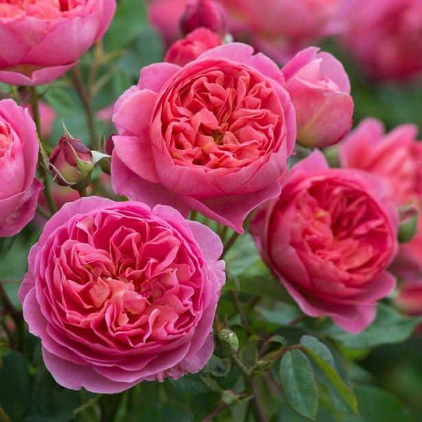 Rosier David Austin Boscobel – chez Promesses de fleurs.  Bien parfumé