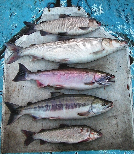 14 best fine art fish replicas images on pinterest for Alaskan white fish
