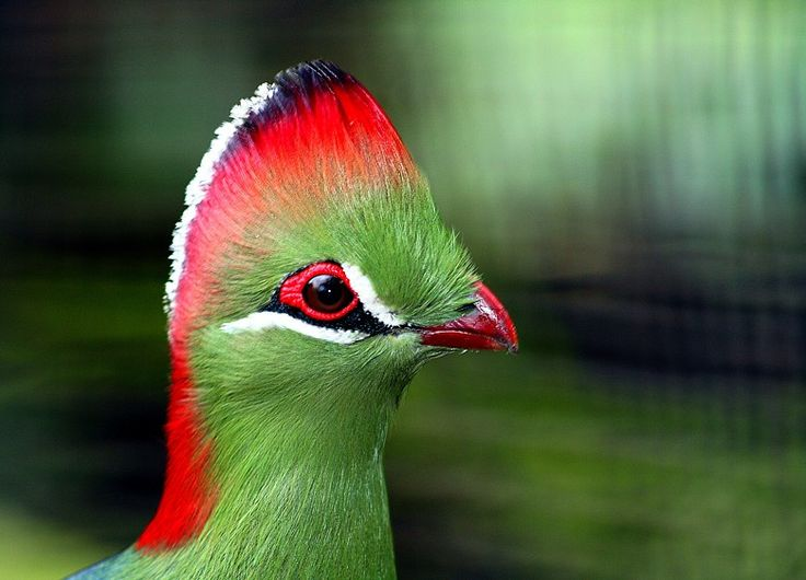 turaco birds make up the bird family musophagidae literally banana eaters