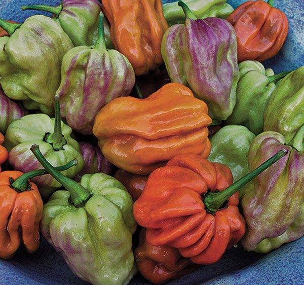 Top 10 Heirloom Hot Peppers.   This one is the Habanero Mustard pepper - spectacularly hot and incredibly beautiful.