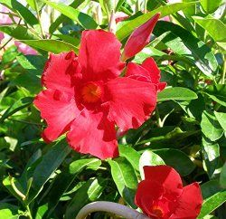 tips for growing mandevilla plant in a container find out. Black Bedroom Furniture Sets. Home Design Ideas