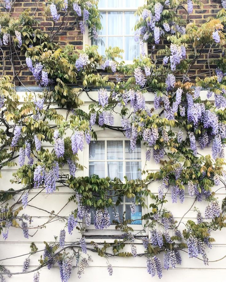 Wisteria in London, England