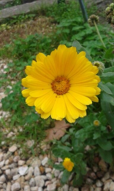 Margarita amarilla