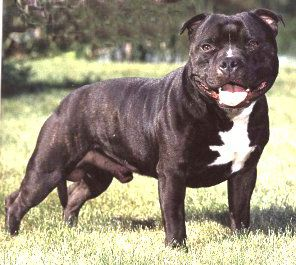 Staffordshire Bull Terrier Dog Breed History and Information - All About Breeds