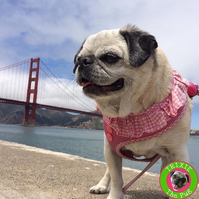 Trixiethepug Sanfrancisco Trixiethepug Instagram Photos And