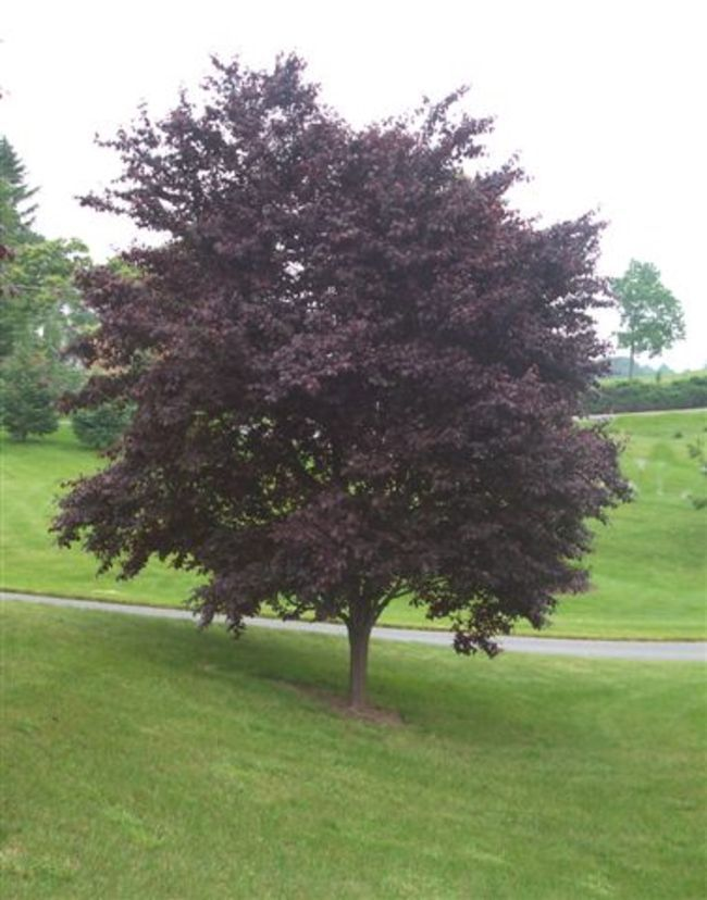40 best small deciduous trees images on pinterest for Garden deciduous trees
