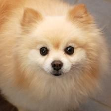 Neko is an adoptable Pomeranian Dog in Des Moines, IA. Currently located at ARL Main How cute is this little 5 year 8 month old guy?? Neko is a darling little puffball with a great outlook on life. He...