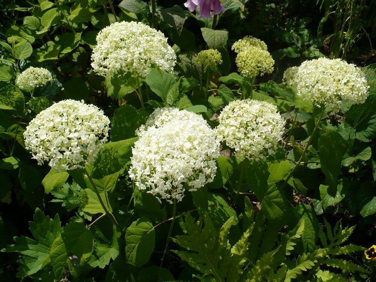 Hydrangea arborescens 'Bounty'3