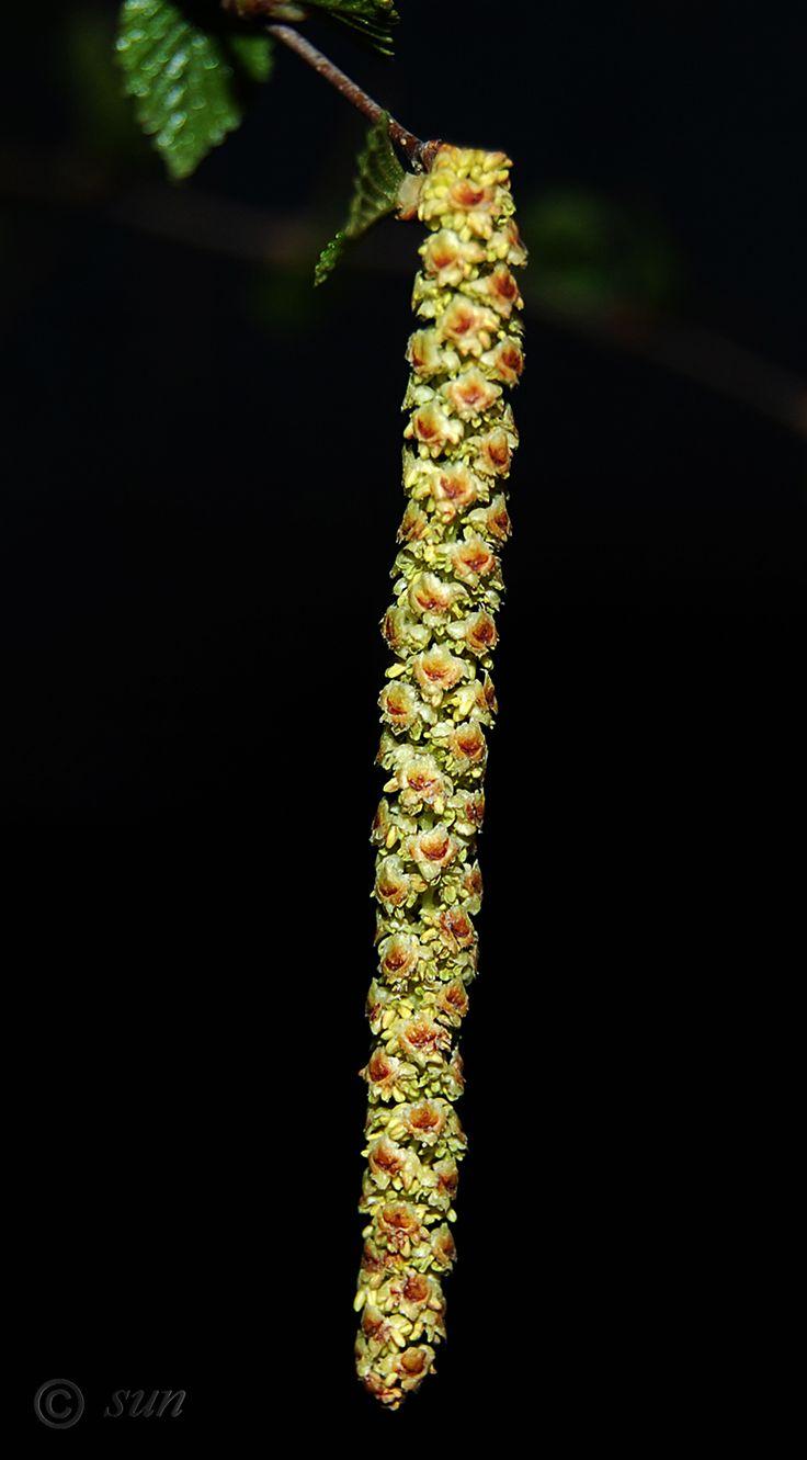 Изображение растения Betula pendula.
