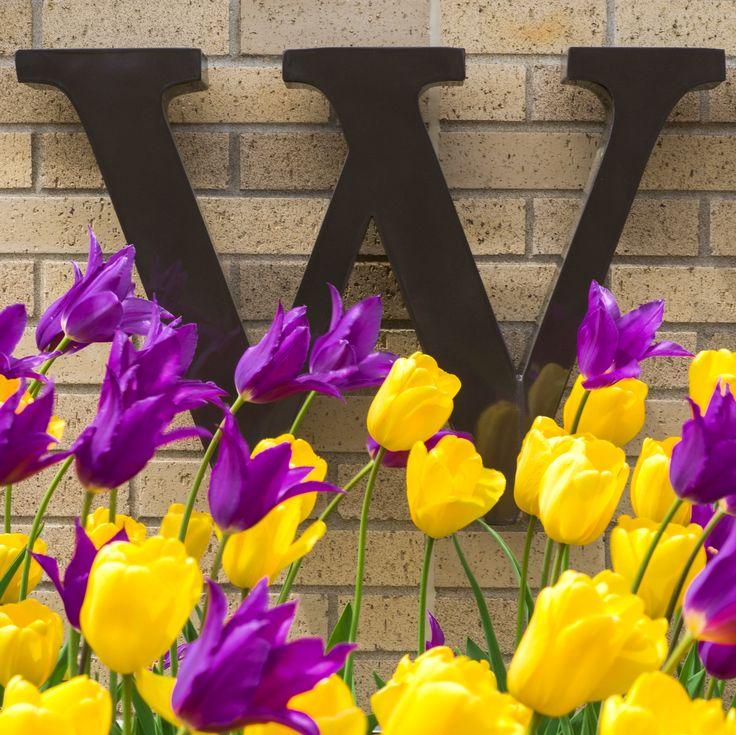 Painting the world purple & gold! 😍🎨#WIU #WIUPride #LeatherneckNation | Macomb, IL | Western Illinois University | Purple and Gold Tulips