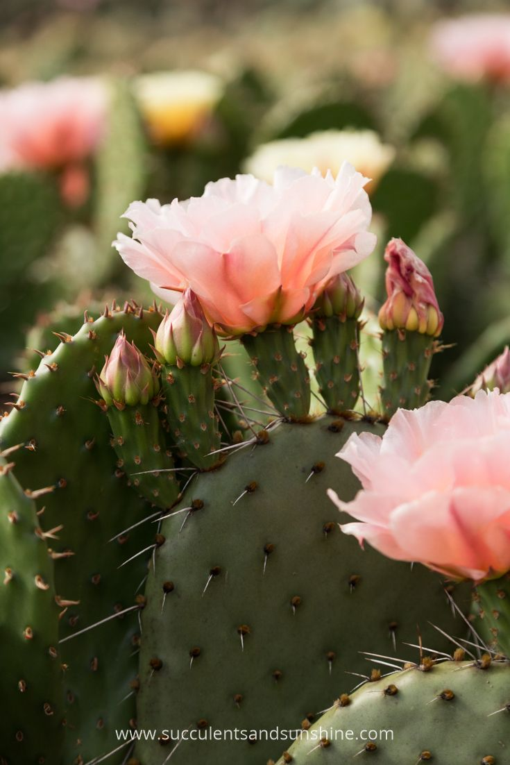These stunning flowers are part of a cold hardy cactus line                                                                                                                                                      More