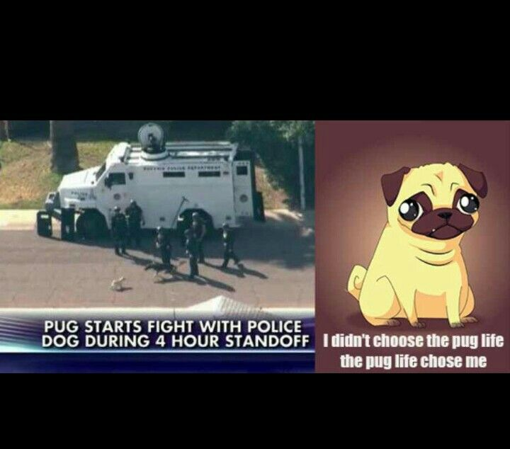 Something my pug would do