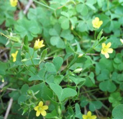 20 besten Lawn Weeds of North Texas Bilder auf Pinterest | Texas ...
