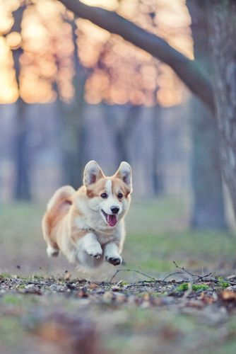 #Pembroke #Welsh #Corgi reached maximum lift...