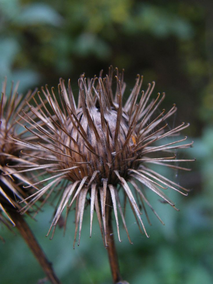 Thistle seed pods - pinned by D.Inman m.t