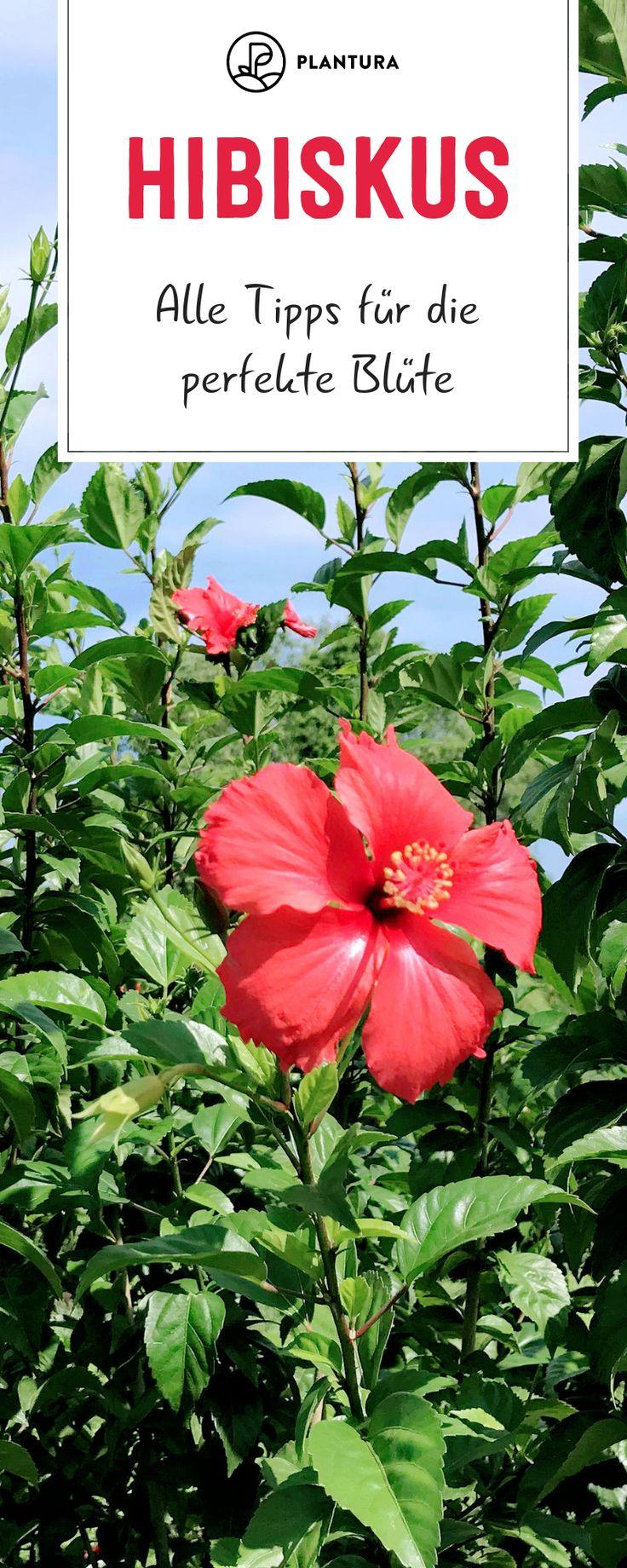 Hibiskus: Alle Tipps für die perfekte Blüte – Plantura | Garten Ideen & Tipps | Gemüse, Obst, Kräuter