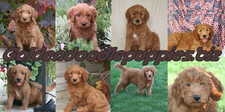 Potty training a goldendoodle puppy