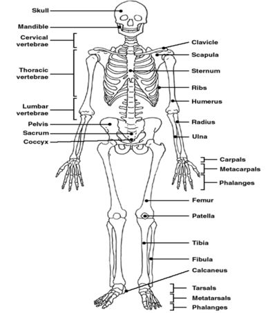 skeleton diagram labelled google search health and wellbeing pinterest skeletons and search. Black Bedroom Furniture Sets. Home Design Ideas