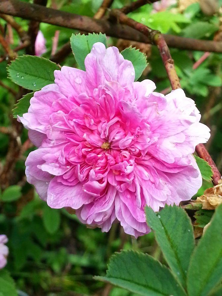 Rosa foecundissima 'Lövhult'   Zon VII. En fylld kanelros som härrör från Lövhult i Södra Vi socken i Småland, där den odlats sedan åtminstone 1930-talet. Rosen kommer bäst till sin rätt när den odlas på naturtomter och i äldre, kulturhistoriska trädgårdar, särskilt i allmogeträdgårdar. Blommar på försommaren med rosa, 4–5 cm stora blommor med medelstark doft. Formar sig till en fin buske. Härdig, frisk och lättodlad. 1.2 x1m. Grönt kulturarv®, 1930.