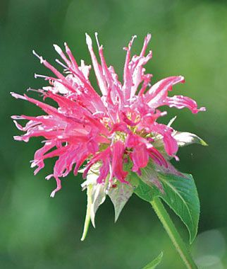 Monarda, Coral Reef PPAF.Butterflies and hummingbirds adore it. Extraordinary as cut flowers.