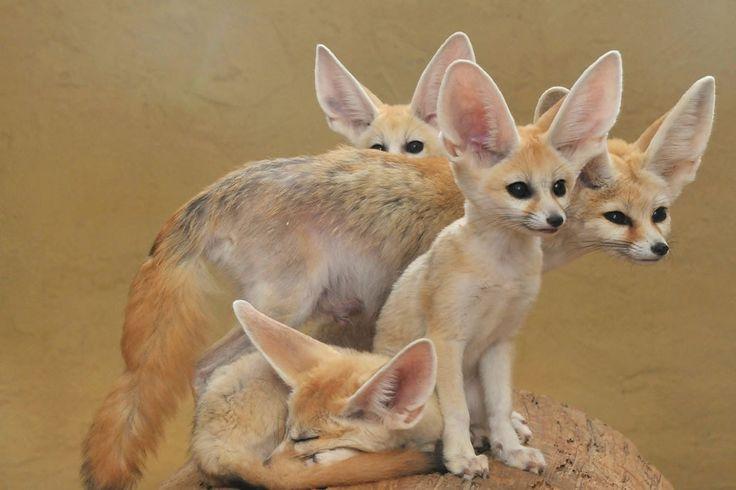 F es para Fennec Fox, o toda una familia de zorros Fennec. Foto # 7 por Joachim S. Müller