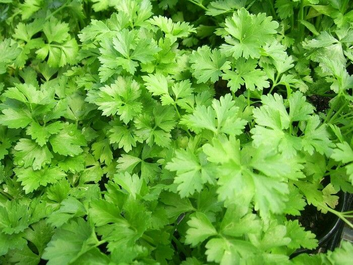 Italian flat parsley 10k for 50 seed Contact us wa 085777119992