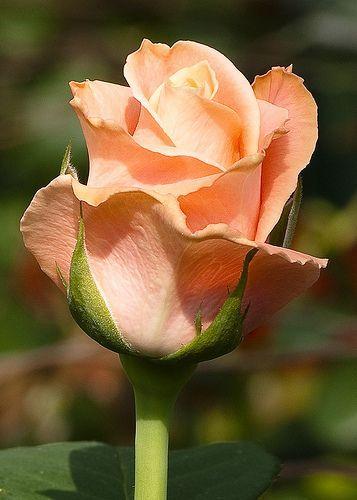 .~Peach Rose Flower, by Charlie Sampayo~.