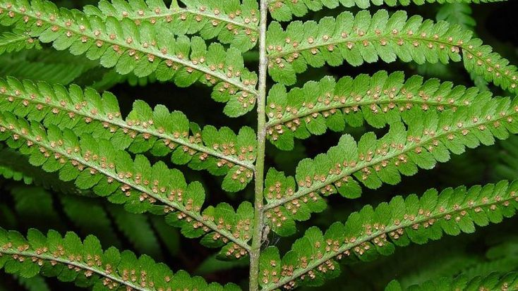 Erdei pajzsika (Dryopteris filix-mas) | Fitoterápiakalauz | Gyógynövény lexikon