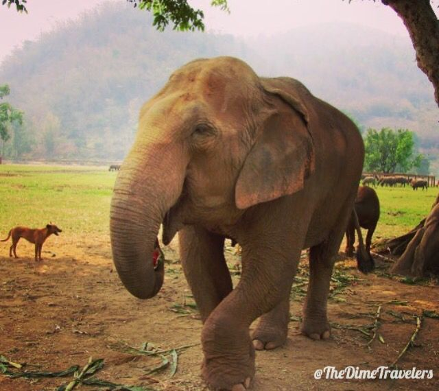 A visit at the elephant sanctuary is an amazing experience that's not to miss for anyone who has the opportunity to be traveling in Thailand!   Check out our travel blog for continued great travel related reads!