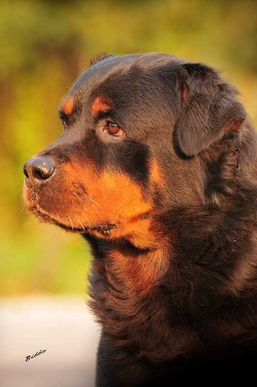 Jürgen - #rottweiler  I had a rott in college.... I honestly don't have the time for a dog at the moment, but if I did I would get another or a Great Dane...