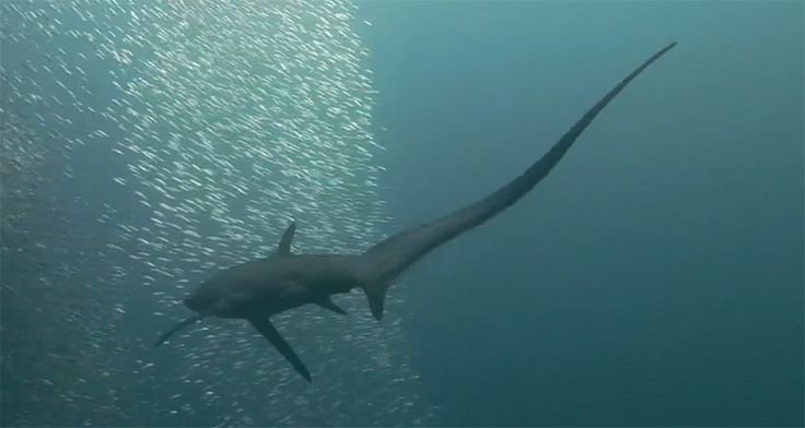 """Thresher Sharks Hunt with Huge Weaponised Tails; """"[H]ere's what usually happens. The thresher accelerates towards a ball of fish and brakes sharply by twisting its large pectoral fins. It lowers its snout, pitches its whole body forward, and flexes the base of its tail. This slings the tail tip over its head like a trebuchet, with an average speed of 30 miles per hour. (The fastest shark managed to whip its tail at an astonishing top speed of 80 miles per hour.)"""""""