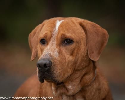 Scooby Two - Chesapeake Bay Retriever mix - 2 yrs old - The Humane Society of South Coastal Georgia - Brunswick, GA. - https://www.hsscg.org/pet-adoption/dog-adoption/ - https://www.facebook.com/HSSCG - http://www.adoptapet.com/pet/12701815-brunswick-georgia-chesapeake-bay-retriever-mix - http://www.petango.com/Adopt/Dog-Retriever-Chesapeake-Bay-25136688 - https://www.petfinder.com/petdetail/31836954/