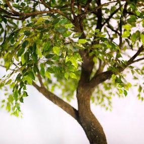 Искусственное дерево от AnyTrees Фикус