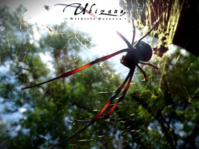The Nephila or Golden Orb Weaver is famous for its golden silk