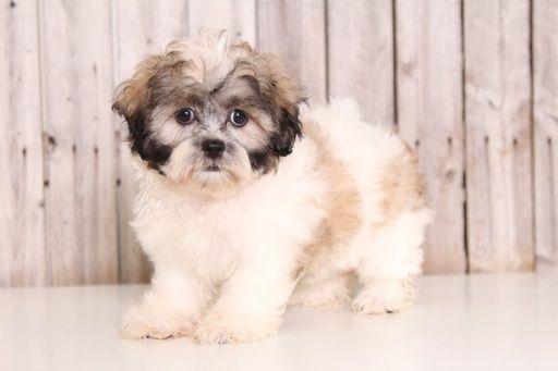 Zuchon puppy for sale in MOUNT VERNON, OH. ADN-45882 on PuppyFinder.com Gender: Female. Age: 10 Weeks Old